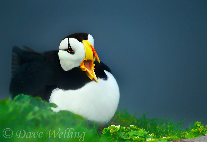 573500381 a wild horned puffin fratercula corniculata in breeding plumage sits on a rock ledge and calls to its mate on saint george in the pribilof islands alaska united states