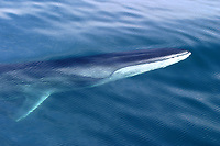 Fin whale, Balaenoptera physalus, surfaces off Resurrection Bay, Alaska, Pacific Ocean