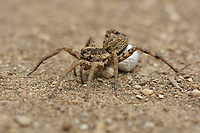 Carolina Wolf Spider (Hogna carolinensis), female with egg sac, Hill Country, Central Texas, USA