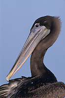 Brown Pelican, Pelecanus occidentalis, immature preening, Port Aransas, Texas, USA