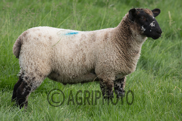 20kg lamb on grass<br /> &copy;Tim Scrivener Photographer 07850 303986<br /> ....Covering Agriculture In The UK....