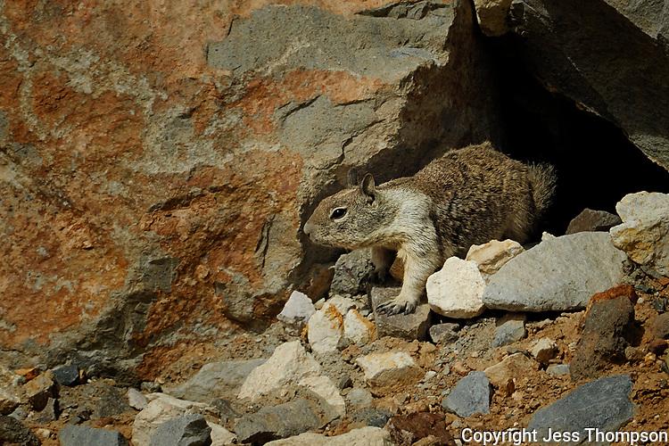 California Ground Squirrel, Reno, Nevada