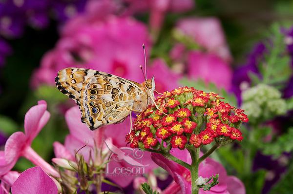 American Painted Lady Butterfly (Cynthia virginiensis) on Yarrow (Achillea millefolium) in backyard garden. Summer. Nova Scotia, Canada.