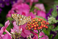 American Painted Lady Butterfly (Cynthia virginiensis) on Yarrow (Achillea millefolium) in backyard garden. Summer. Nova Scotia, Canada.