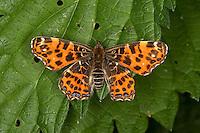 Landkärtchen, Land-Kärtchen, Weibchen, Frühlingsgeneration, Araschnia levana, map butterfly