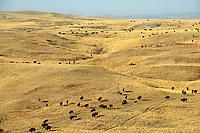 Bison herd roams prairie on the Triple 7 Ranch near Fairburn, South Dakota, USA, SD_00802.