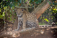 """One of two Jaguar (Panthera onça) cubs we spotted resting with their mother in the shade along the bank of the Cuiabá River.  This young male, named """"Pele"""" by the local biologists, obliged us with a brief walk into the open.  The Pantanal, Brazil."""
