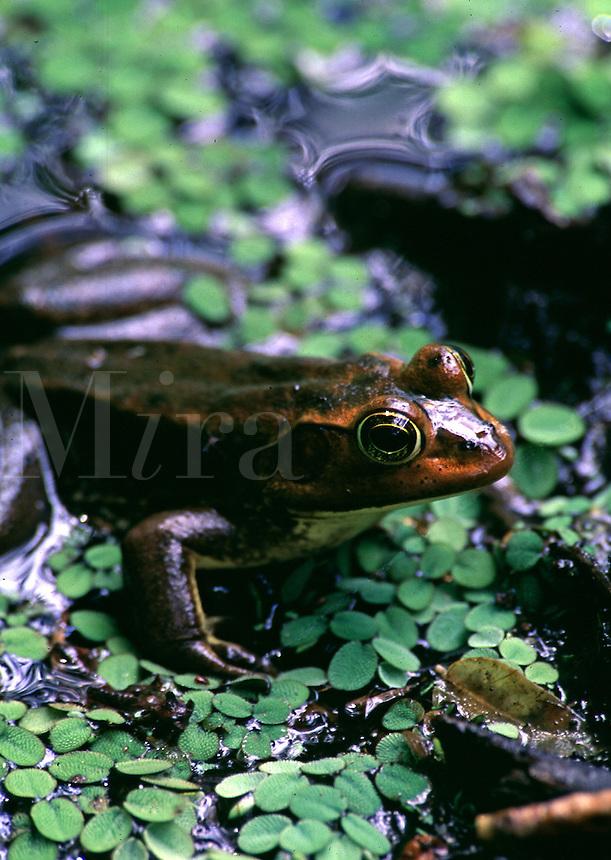 Pig Frog, Rana grylio. Florida, Corkscrew Swamp Sanctuary.
