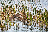 Female Hooded Merganser taking off in flight from wetlands water, water droplets visible around feet and tail.  Duck is surrounded by reeds.