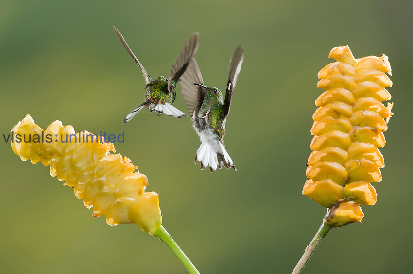 Coppery-headed Emerald Hummingbirds (Elvira cupreiceps) fighting at flowers of a Rattlesnake Plant (Calathea crotalifera), Costa Rica