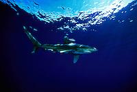 An Oceanic whitetip shark, Carcharhinus longimanus, with pilot fish, displaying the pectoral fin warning display.  Hawaii.