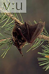 A Silver-haired Bat. (Lasionycteris noctivagans) Burro Mountains, Southwest New Mexico, USA