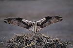 Osprey, Baja California, Mexico