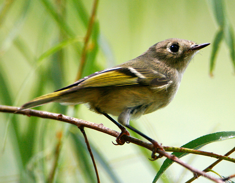 Adult ruby-crowned kinglet