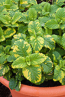 Lemon balm herb variegated Melissa officinalis Aurea in pot container, a beautiful lemon scented and tasting leaf food plant