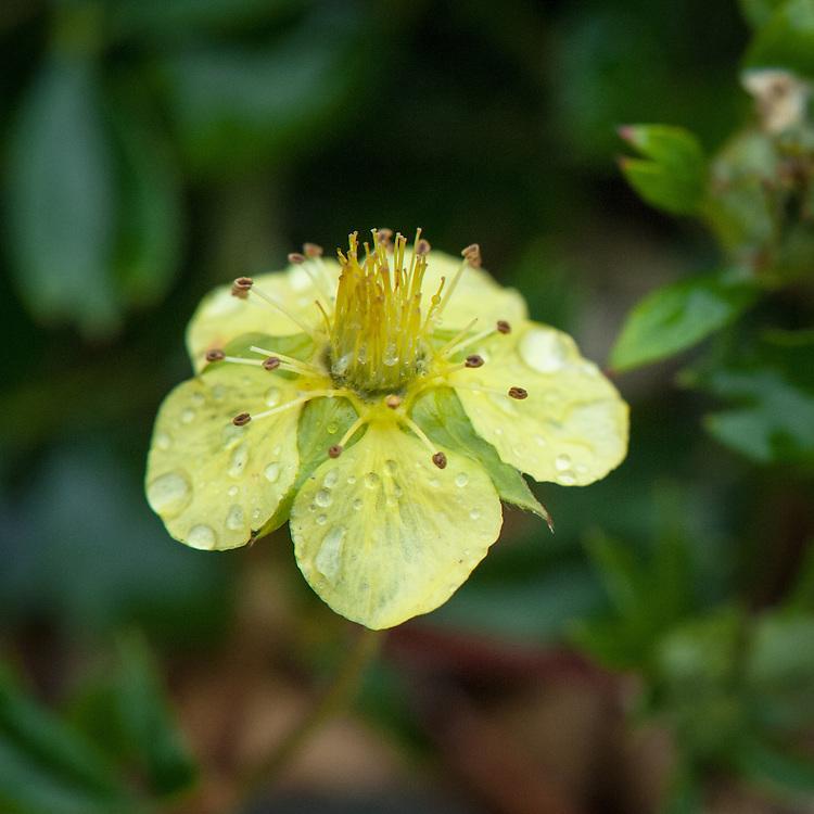 Sibbaldiopsis tridentata 'Lemon Mac', early June. Also referred to as Potentilla tridentata 'Lemon Mac'.