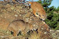 Bobcats (Felis rufus).  Western U.S.
