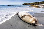 A Southern Elephant Seal (Mirounga leonina) sleeps on the beach as the tide rolls in, Sealion Island, Falkland Islands, South Atlantic Ocean