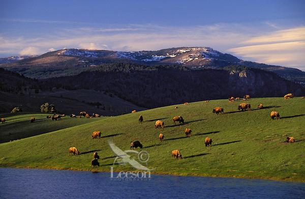 PLAINS BISON. Spring herd..Lamar Valley. Yellowstone National Park..(Bison bison). USA.