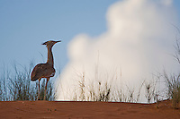 Kori bustard on the crest of a red sand dune.