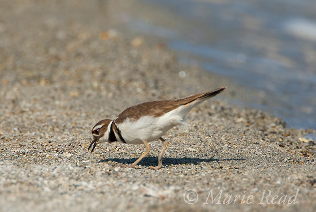 Killdeer (Charadrius vociferus) foraging on the shore of Mono Lake, California, USA