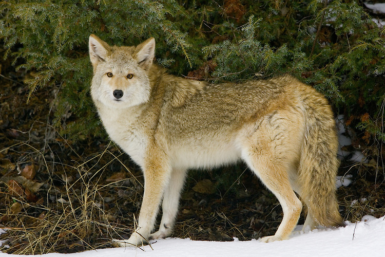 Coyote standing amongst a pine tree and snow - CA