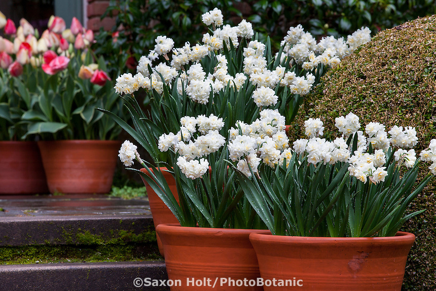 Pots of white double daffodils, Narcissus 'Erlicheer' on steps of Filoli garden