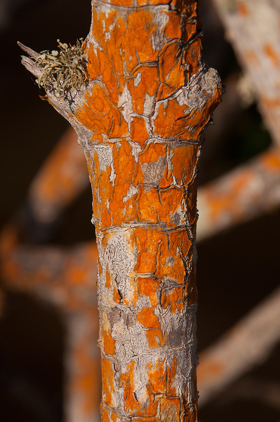 Orange and Gray Bark, Pelican Island National Wildlife Refuge, Vero Beach, Florida, US