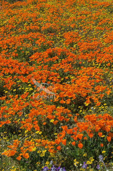 Wild California Poppies (Eschscholzia californica), goldfields (yellow wildflower) and other wildflowers cover hillside.  California.  Spring.  Photo taken near the Antelope Valley California Poppy Reserve.