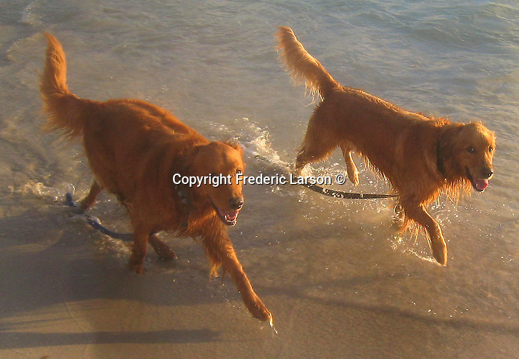 Dogs enjoy a early morning walk on Kailua Beach of Oahu, Hawaii.