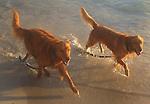 Dogs enjoy a early morning walk on Kailua Beach of Oahu, Hawaii.