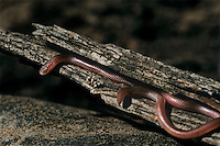 412180001 a wild plains blind snake leptotyphlops dulcis dulcis lays coiled in an old mesquite log on a private ranch in the rio grande valley of south texas