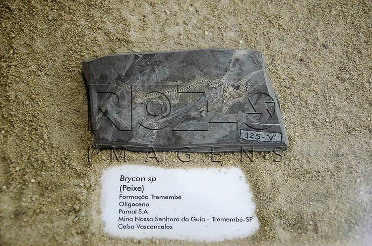 Fóssil Brycon sp (peixe), Formação Tremembé, Oligoceno, Parnal S.A, Mina Nossa Senhora da Guia, Tremembé -SP. Museu Geológico Valdemar Lefèvre, São Paulo - SP, 07/2014.