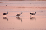 Sandhill Cranes Trek after Sunset Bosque del Apache Wildlife Refuge New Mexico