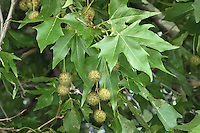 Oriental Plane Platanus orientalis (Platanaceae) HEIGHT to 30m. Large deciduous tree with a broad, domed crown.  The main trunk is frequently covered with large tuberous burrs. BARK Mostly smooth and pale brown, flaking away to reveal rounded yellow patches. BRANCHES Often spreading. In older specimens branches droop down to the ground. Young shoots are yellow-brown and hairy, while older twigs are greyer. LEAVES Large, up to 18cm in length and width; deeply divided into 5–7 lobes which are themselves notched; central lobe is longest, and the leaf is borne on a 5cm-long petiole that has a swollen base enclosing a bud. REPRODUCTIVE PARTS Male flowers, up to 6cm long, are composed of 2–7 rounded, yellowish flower heads. Female flowers, up to 8cm long, comprise up to 6 rounded, dark-red flower heads; the flowers open in May–June. As they ripen into fruits the catkins reach a length of 15cm and the ball-like heads grow to 3cm across; they contain many 1-seeded carpels with long hairs attached to bases. STATUS AND DISTRIBUTION Native of the Balkans, eastwards into Asia.