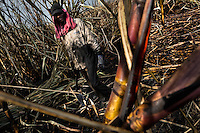 A sugar cane cutter works on in a field near Florida, Valle del Cauca, Colombia, 30 May 2012. The Cauca River valley is the booming centre of agriculture and sugar cane cultivation in Colombia. Although the main part of the crop is still refined into a sugar, the global demand of biofuel and ethanol has intensified the sugar cane production in the last years. 85 percent of Colombia's cane crop is still harvested the manual way, employing approximately 30,000 workers. Working six days a week, under harsch labor conditions, the sugar cane cutters earn $4 for every ton of cane they cut, with no access to social benefits due to the tricky system of intermediary contractors and cooperatives.