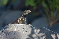 Male lava lizard, Punto Suarez, Espanola Island, Galapagos Islands, Ecuador.