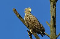 Seeadler, See-Adler, Haliaeetus albicilla, white-tailed eagle, Adler,