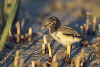 American Oystercatcher, juvenile, Stone Harbor, New Jersey