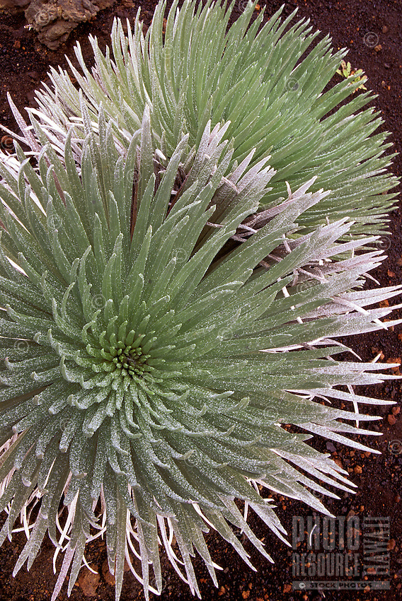 Close-up of two beautiful silverswords in full bloom (argyroxiphium sandwicense), an endangered plant endemic to the Hawaiian islands, here at Haleakala National Park.