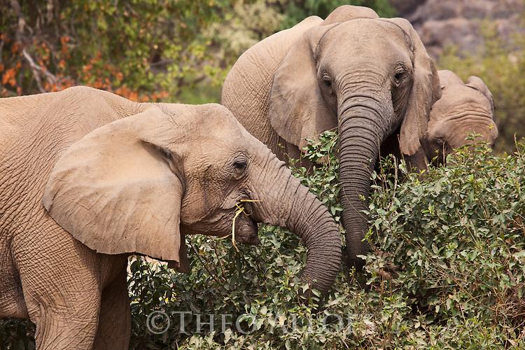 Namibia;  Namib Desert, Skeleton Coast,  desert elephant (Loxodonta africana) breeding herd feeding on bushes in dry river bed
