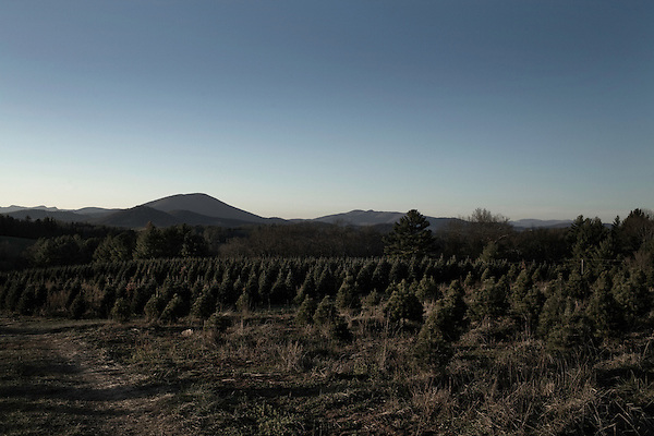 "November 23, 2008. Ashe County, NC.. The Christmas tree industry in Ashe County.. Small frazier fir trees, the highest quality of the Christmas tree types, grow on a mountain hillside. Ashe Co. is ideal for Frazier firs as the altitude, soil, and temperatures are perfect for the finicky trees.. The trees are grown at nurseries until they are 5 years old and then planted. They will grow to an average of 7 to 8 feet tall, the ""ideal"" Christmas tree height, before being cut and sold. Some are cut smaller and larger, but the majority of sales come in the 7 to 8 foot range."