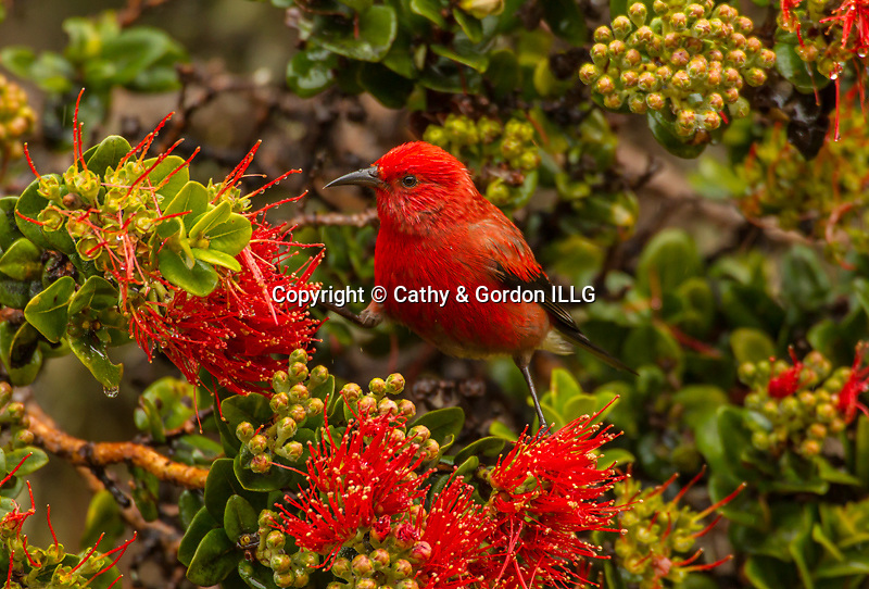 North America, USA, Hawaii, Hakalau Forest National Wildlife Refuge, apapane and ohia blossoms