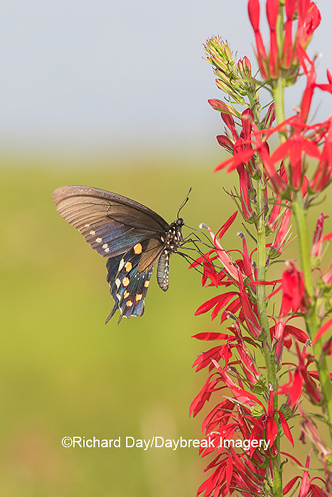 03004-01513 Pipevine Swallowtail (Battus philenor) on Cardinal Flower (Lobelia cardinalis) Marion Co. IL