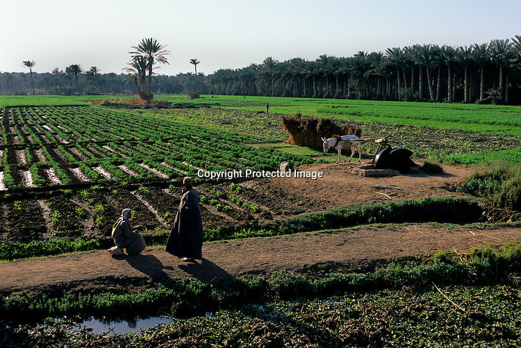 Pharaohs of the Sun, Irrigated fields, Amarna, Egypt, daily life, modern, donkey, farming, agriculture, palms