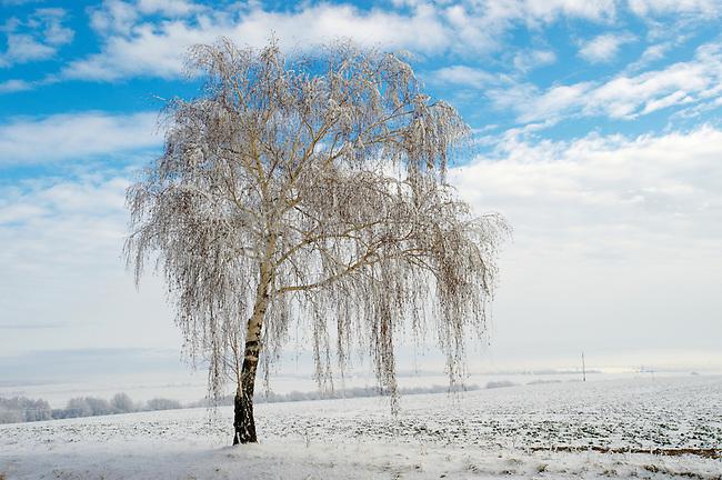 Frost and snow on a beach tree - Near Bojok - Hungary