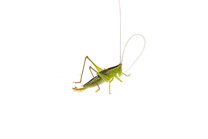 30040-00116 Common Katydid on white background, Marion Co., IL