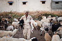 GUJARAT: A Rabari shepherd brings the lambs to their mothers to milk, in the Kutch region. Photo by Michael Benanav