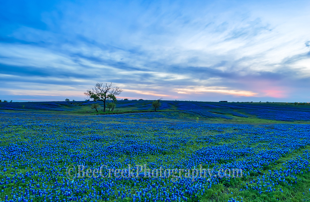 Texas Bluebonnet on a Ranch.