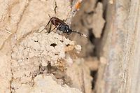 Schlupfwespe an der Lehmwand einer Insekten-Nisthilfe, Hoplocryptus murarius, ichneumon wasp, ichneumonid, Schlupfwespen, Ichneumonidae, ichneumon wasps, ichneumonids